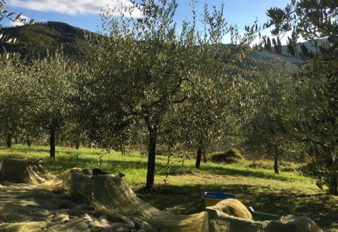 Olive picking at Belvedere